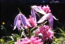 clematites-et-rhododendron3